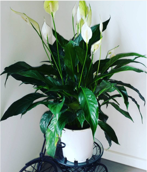 The Peace Lily is a beautiful houseplant that will actually purify the air in your home!