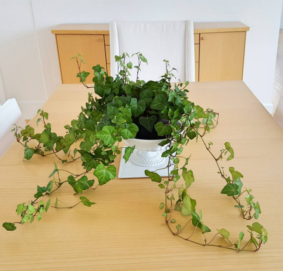 English Ivy is classic, beautiful, and will purify the air in your home.