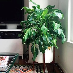 The dumb cane plant is a great plant that can purify the air in your home