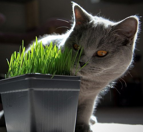 Kitty grass will provide the fiber your cat needs.